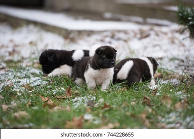 American Akita puppies are enjoying their first walk in the snowy yard
