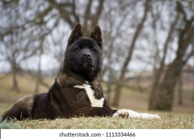 American akita puppies posing in spring outside.