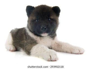 american akita puppy in front of white background