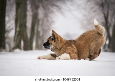 American akita puppy outside. Cold winter day and akita.