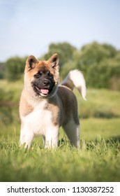 American akita puppy outside in grass.