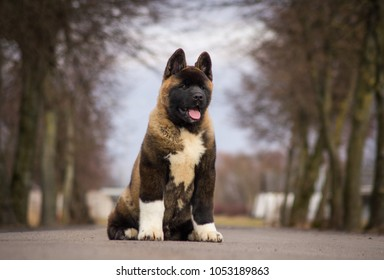 American akita puppy posing outside.