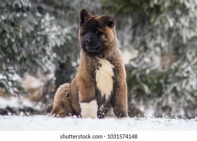 American akita puppy posing in the snow. Cute 3 months old puppy.