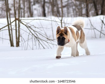 American Akita puppy rushing on a winter day in the snow