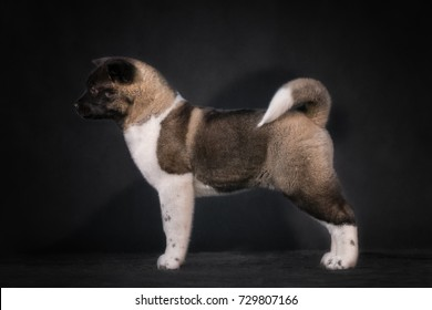 american akita puppy studio