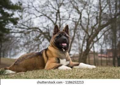 American akita purebred young dog posing outside.