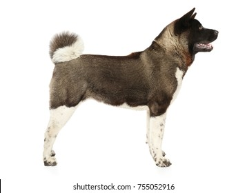 American Akita in stand on white background
