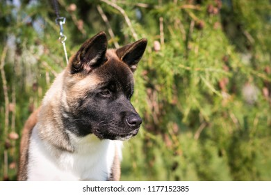 American akita young dog in the green park outside. Purebred akita puppy.
