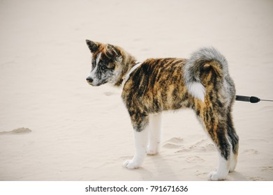 American akita young dog in the park outside. Thoroughbred akita puppy.