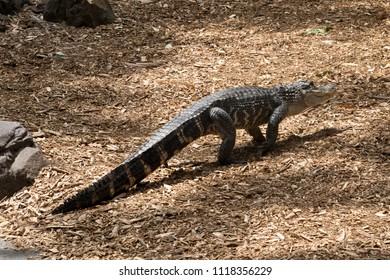A american alligator in the Australia zoo