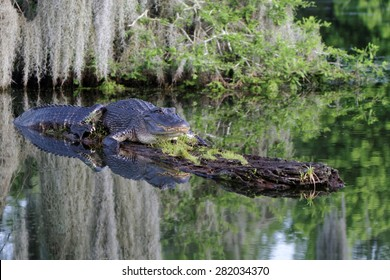 American Alligator in the Bayous of Louisiana