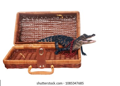 American alligator with beads around his neck emerges from a wicker suitcase. Isolated on white background