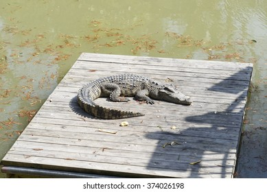 american alligator (crocodile) sleeping in the sun on wooden platform