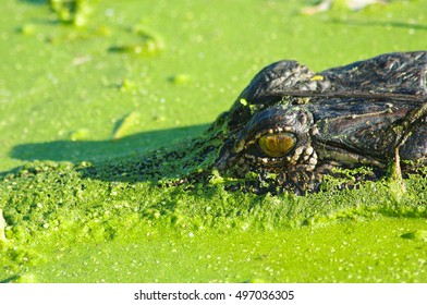 American Alligator in Duckweed and Algae