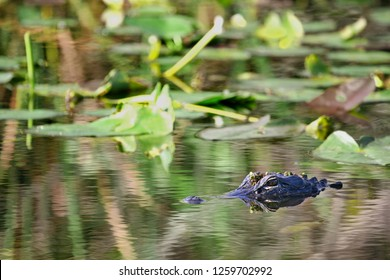An American Alligator emerges from the swampy waters of the Florida Everglades