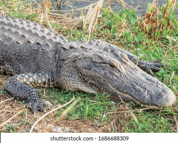 American Alligator in Everglades. Big Alligator resting on the ground. A wild American Alligator in Florida.  Closeup of the big mouth and teeth. Alligator skin