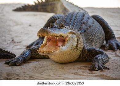 American Alligator head in Florida swamps. Everglades National Park. Florida. USA.
