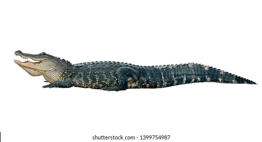 American alligator isolated on white background