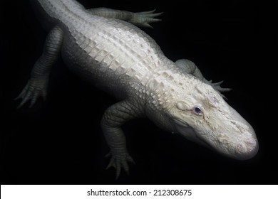 An American alligator leucistic