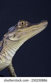 American alligator / Alligator mississipiensis