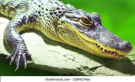 The American Alligator- Alligator mississippiensis is apex predator and consume fish, amphibians, reptiles, birds, and mammals. Wildlife photo from rainforest. Animal theme.