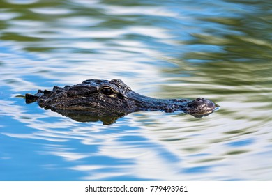 The American alligator (Alligator mississippiensis) is endemic to the southeastern United States of America