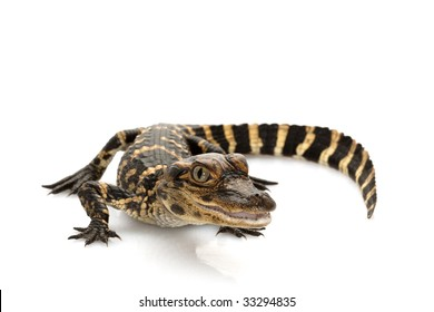 American alligator (Alligator mississippiensis) isolated on white background.