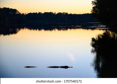 American alligator (Alligator mississippiensis) native to United States of America