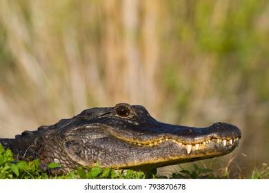 American Alligator, Alligator mississippiensis, NP Everglades, Florida, USA.