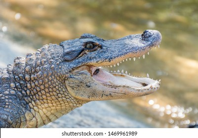 American alligator (Alligator mississippiensis) with open mouth
