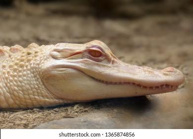 The American alligator (Alligator mississippiensis) ,portait of the albino aligator. White aligator portrai with brown background.