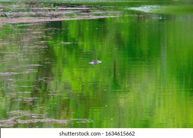 American alligator (Alligator mississippiensis) swimming in the green swamp water