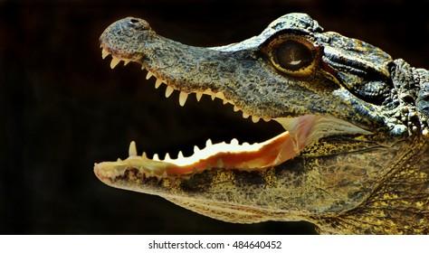 American alligator (Alligator mississippiensis), viewed side-on.
