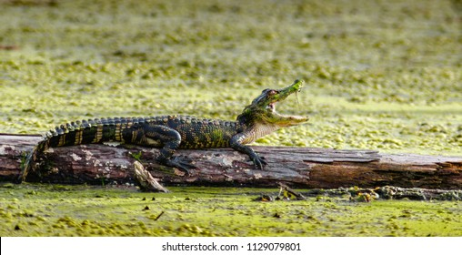American Alligator on a log in a Louisiana bayou