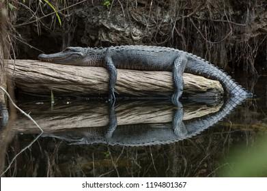 American alligator resting on log