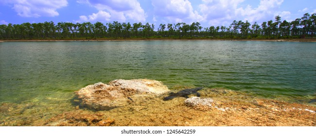 American alligator rests in a clear pond at the Everglades National Park Florida