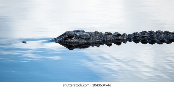 American Alligator rising just above the surface of the water
