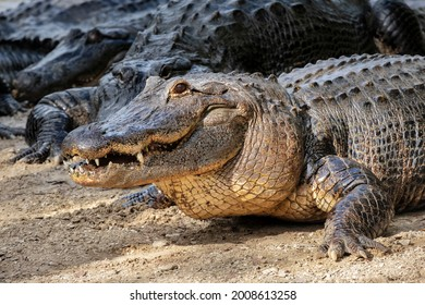 American alligator, swamp habitat, Florida USA