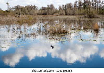 American Alligator Swimming through Clouds in Reflection in Swamp