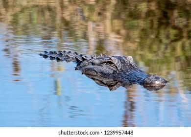An American alligator swimming through a lake.