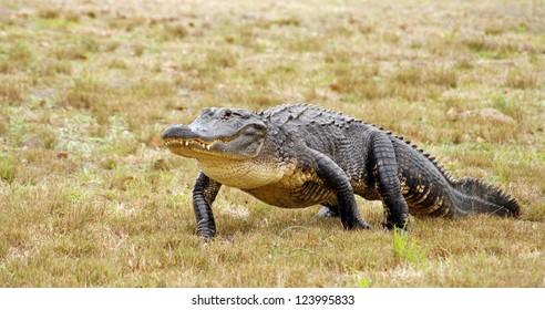 American alligator walks across the grassy meadow