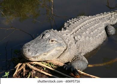 American alligator in a wildlife preserve in Florida