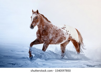 American Appaloosa horse with colorful spotted coat pattern