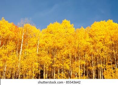 American Aspen Trees Against Blue Sky