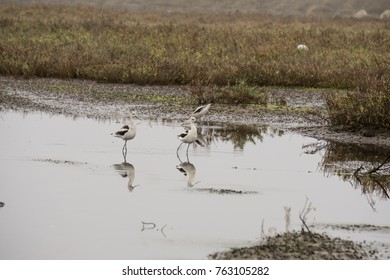 American Avocet, a large shorebird with a striking black and white pattern on its back, long bluish-gray legs, and a very long, thin, upwardly curved bill.