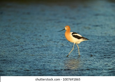 American Avocet (Recurvirostra americana), on a mud flat in Palo Alto Bay Lands, San Francisco Bay, California