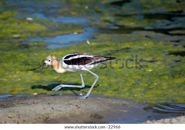 American Avocet in the shallows