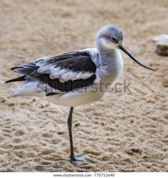 An American Avocet stands on one leg on the beach in California.