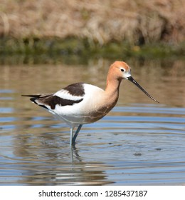 American Avocet wading in pond
