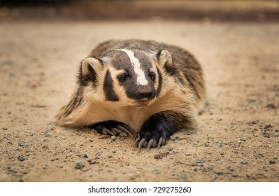 An American Badger lays on the ground.